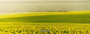 Field of Yellow by BFGL