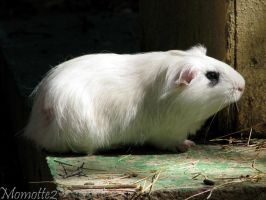 Little guinea pig in the sun by Momotte2