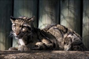 Clouded Leopard 021508 by hoboinaschoolbus