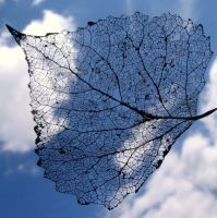 Leaf Skeleton II by mattconnect