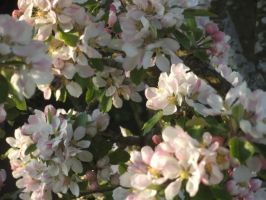 Apple Blossom 9 by YesIamEccentric