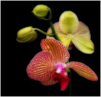 ORCHIDS 4 by THOM-B-FOTO