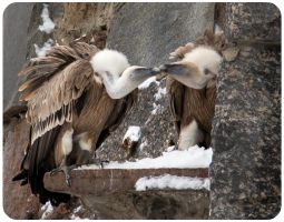 Griffon Vulture Couple by OrangeRoom