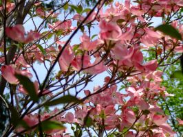 Dogwood in May by Ravnwyng