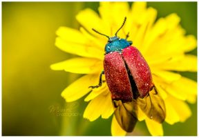 Poplar Leaf Beetle by SianMurrell