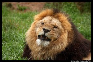 Lion: Not Amused by TVD-Photography