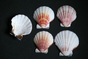 Sea shell stock 01 by Malleni-Stock