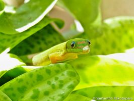 Gold dust day gecko 22 by kitty974