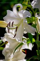 Snowy White Lilies 7936 by AforAperture