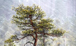 8.1.2015: Pine Tree, Snowfall IV by Suensyan