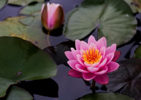 Water Lily 11 by GreyVolk