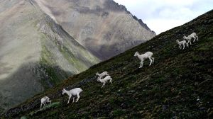 dhal sheep 1 by BCMountainClimber