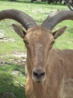 Barbary sheep by Shadow-D-Keeper