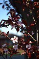 Cherry Blossoms by Cloud-and-Petrichor