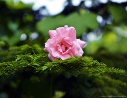 Pink rose 3 by FrancescaDelfino
