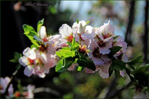 The Almond is flowering by ShlomitMessica