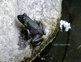 Black frog by Apeanutbutterfiend