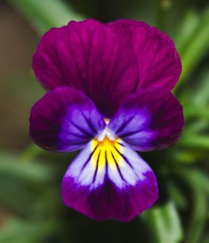 Viola tricolor by thomasvillhauer