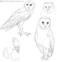 Barn Owl Study by Luckwing