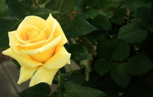 Tuesday's Rose by Coraloralyn