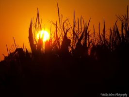 Sunset Across the Corn by TabithaS-Photography