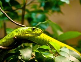 Green Mamba by ricardoelizondo
