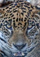 jaguar look by odinemb