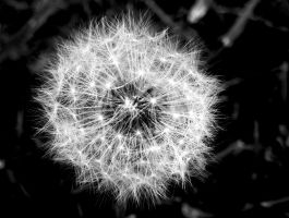 Black and White Dandelion by hm923