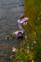 River Flowers by Dreyco