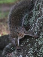 Eastern Gray Squirrel by Cristian-M