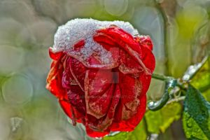 frozen rose by chrisstina