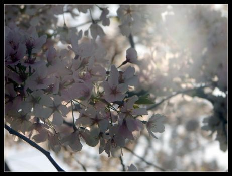 Cherry Blossoms 1 by Taeo