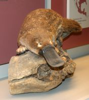 Denver Museum Platypus 318 by Falln-Stock
