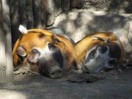Red River Hogs in Lurve by dtf-stock