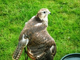Glamis Castle - Birds of Prey 05 by Narric-SB0