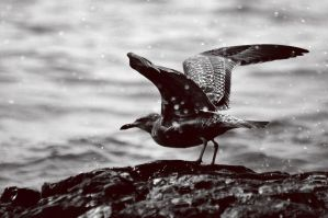 Gull in Maine by MmeLeo