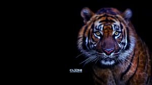Tiger HD Wallpaper BY CLoSeDesign by CLoSeDesign