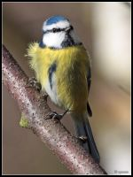 Blue Tit 2 by cycoze