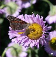 PAINTED LADY ON DAISY by GeaAusten