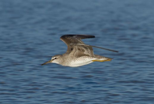 Grey-tailed Tattler by SirTimid