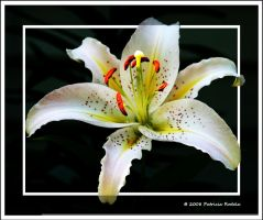 Lilium Beauty by PatriciaRodelaArtist