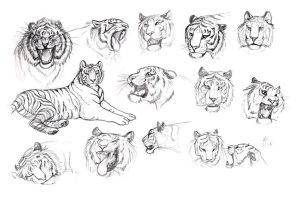 Tiger expression studies by Tigerty