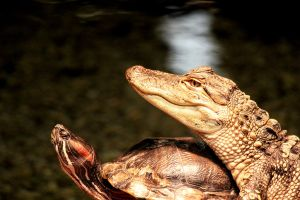 Gator and Turtle hanging out by winterface