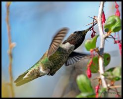 Hummingbird in the Bush by AirshowDave