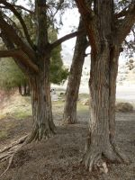 A Triptych of Trees by the-only-nighthawk