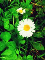 Daisies In My Clovers by XxMissesNumberNEINxX