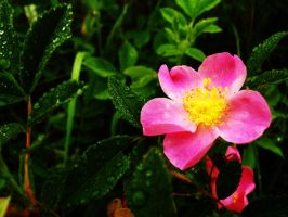 Pink Flower by nelsonpray