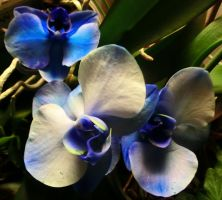 Orchids are blue by Michawolf13