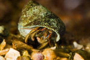 Peek-a-boo... Hermit Crab by duncan-blues