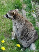 Racoon Sitting with Dandelions by FantasyStock